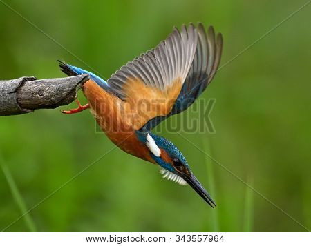 Common Kingfisher (Alcedo atthis) Eurasian Kingfisher preparing to plunge into the water for fishi poster