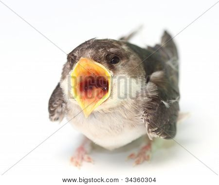 chick swallows with open yellow beak over white poster