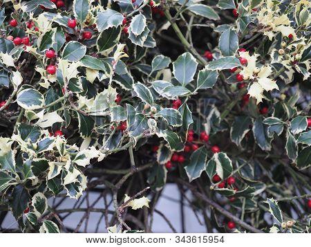 Christmas Holly Plant