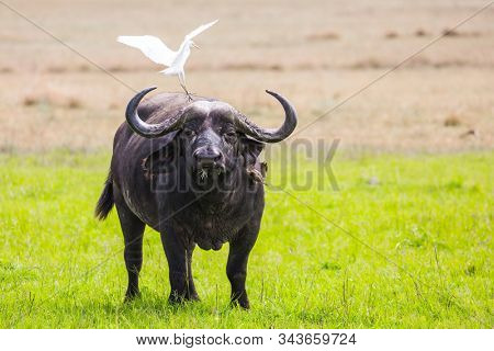 Great white heron stands on the head of a buffalo. African buffalo graze in the tall grass of the savannah. Safari in Masai Mara National Park, Kenya. Ecological, active and phototourism concept