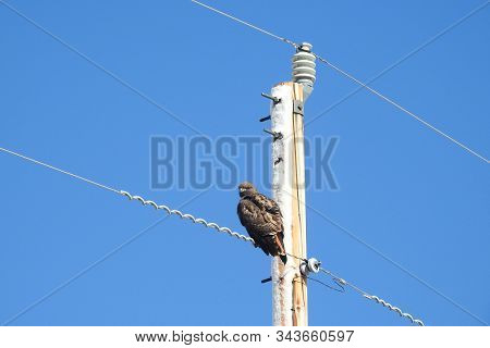 A Red-tailed Hawk Perched On A Powerline In Southeastern Arizona.