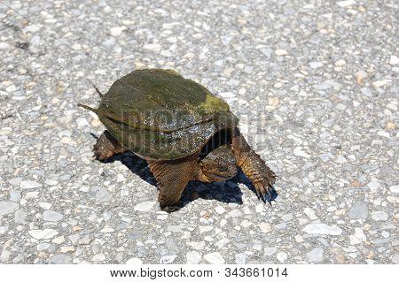 Snapping Turtle Slowly Walking Across The Asphalt On Assateague Island, Maryland.