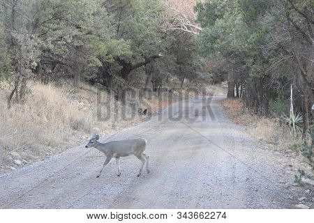 A Small Coues Deer Crossing A Dirt Road, That Leads Into Some Wild Backcountry In The Chirachua Moun