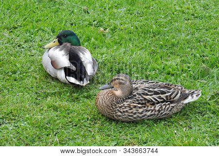 Male And Female, Mallard Ducks, Resting In The Grass, Washington State