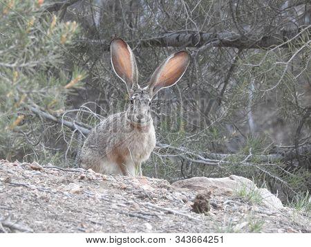 Curious Jackrabbit Residing In The San Bernardino Mountains, California.