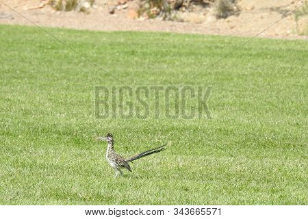 A Roadrunner Hanging Out In The Grass In Hemenway Park In Boulder City, Nevada.