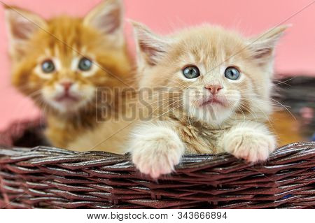 Maine Coon Kittens In Basket, Red And Cream. Cute Shorthair Purebred Cat On Pink Background. Ginger