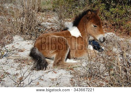 A Young Wild Horse, Foal, Resting In The Sandy Vegetation On Assateague Island.