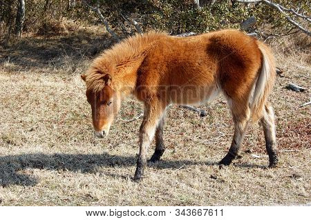 Young Wild Horse With Muddy Hooves, Assateague Island, Worcester County, Maryland.