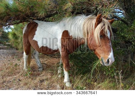 Wild Horse Roaming The Maritime Forest, Assateague Island, Worcester County, Maryland.
