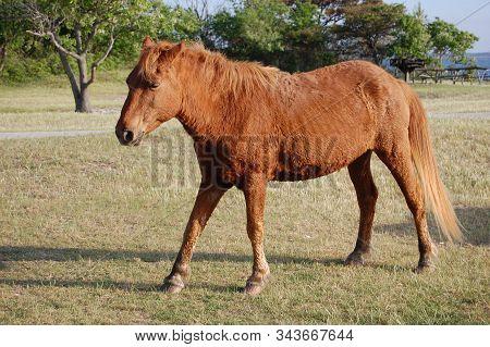 Wild Horse Enjoying The Day On Assateague Island, Maryland.