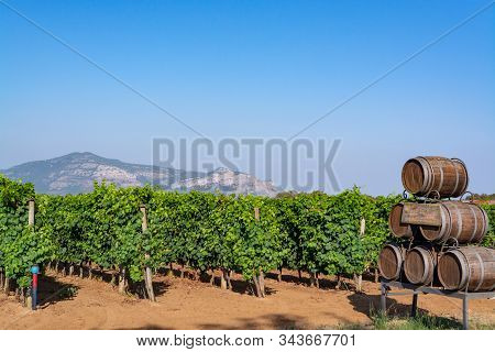 Vineyard With Growing Red Or Rose Wine Grapes In Lazio, Italy, Sirah, Petit Verdot, Cabernet Sauvign
