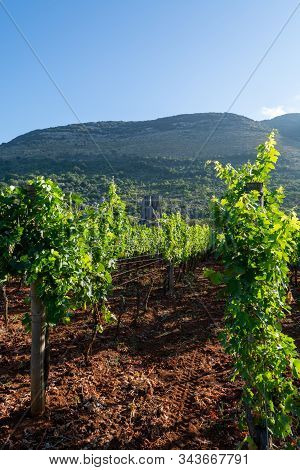 Vineyard With Growing Red Wine Grapes In Lazio Mountains, Italy