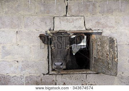 Cow Looking Out From Window Of Shed On Red Brick Wall. Livestock Concept. Livestock Farm. Cow Living