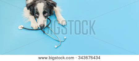 Puppy Dog Border Collie And Stethoscope Isolated On Blue Background. Little Dog On Reception At Vete