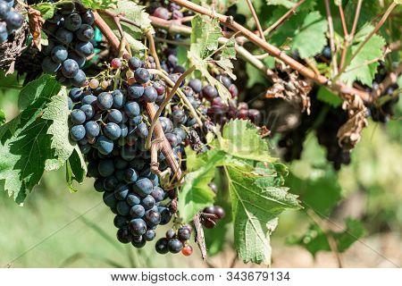 Ripe Vineyard Grapes. Grapes Vineyard Sunset. Tuscany, Italy.
