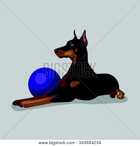 Dog Doberman With Blue Ball Isolated At The With Background