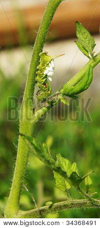 Green Tomato Worm