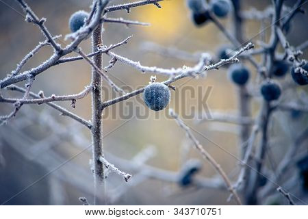 Fruits Of Prunus Spinosa Covered With Hoarfrost. The First Frost.