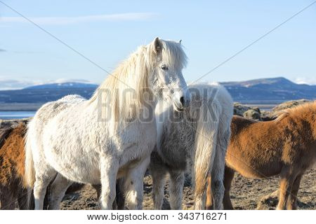 The Icelandic Horse Is A Breed Of Horse Developed In Iceland. Although The Horses Are Small, At Time