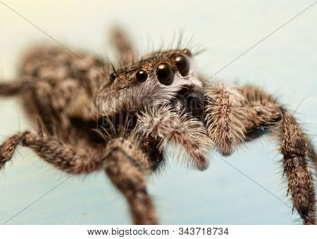 Side view of a fuzzy-faced, adorably cute female Tan Jumping Spider