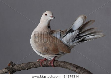 Ring-necked Dove, Male