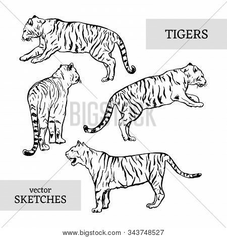 Tigers Wild Cat Vector Set. White Bengal Tiger Animals Icons For Print Or Tattoo Design. Hand-drawn