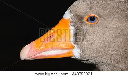 Photographs Of Birds, Wild Geese And Geese Wildlife.