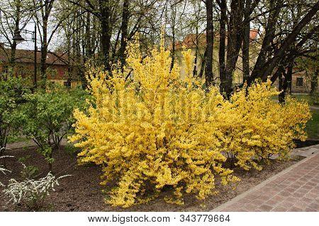 Forsythia Shrub Blooming With Yellow Flowers In Jurmala. Latvia, Spring 2019