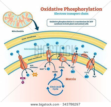 Oxidative Phosphorylation Vector Illustration. Labeled Electron Transport Linked Metabolism Scheme.