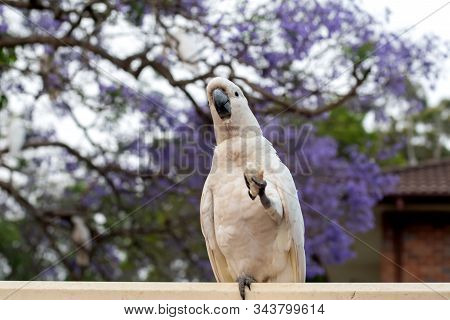 Sulphur-crested Cockatoo Seating On A Fence With Beautiful Blooming Jacaranda Tree Background. Austr