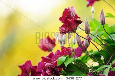 Burgundy Clematis Flowers And Buds With Water Drops