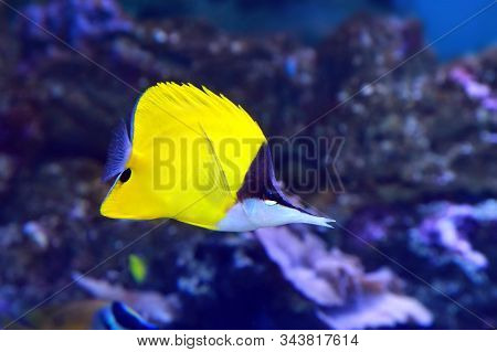 The Yellow Longnose Butterflyfish Forcipiger Flavissimus Or Forceps Butterflyfish, Is A Species Of M