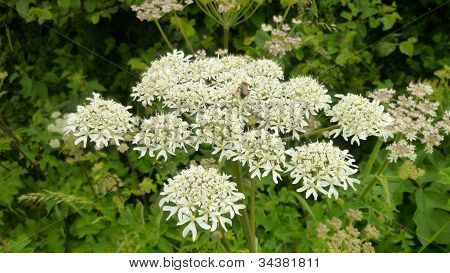 A close up of Cow Parsley