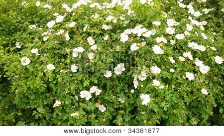 Dog Rose blooming in a hedgerow
