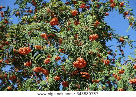 Sorbus Aucuparia With Orange Berries Against Blue Sky In September