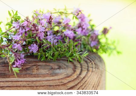 Uncultivated Flowering Thyme On A Old Wooden Table.