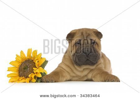 Shar-Pei Puppy isolated with flower on White Background