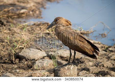 Single hamerkop bird, scopus umbretta, at the edge of the Mara River, Masai Mara, Kenya.