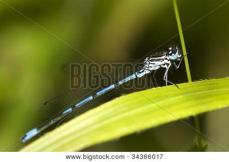 Male Common Blue Damselfly (Enallagma cyathigerum) perched poster