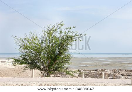 Beautiful babool tree at the site of ancient ruins of Bahrain fort
