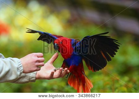 The Eclectus Parrot (eclectus Roratus) Arrives On His Hand While Flying Parrots. Red Parrot In Fligh