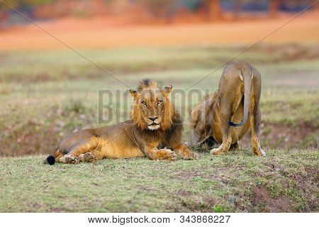The Southern Lion (panthera Leo Melanochaita) Also As The East-southern African Lion Or Eastern-sout