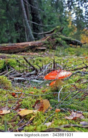 Amanita Muscaria, Commonly Known As The Fly Agaric Or Fly Amanita, Is Poisonous Mushroom