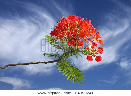 Gulmohar flowers on beautiful clear sky