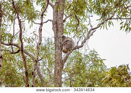 Australian Koala In Natural Habitat