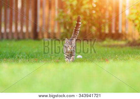 Gray Cat At Grass. Gray Cat Grass Summer With Sunlight. Summer Meadow Field. Nature Background