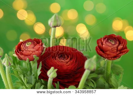 Ranunculus Red Close-up Of Flowers On A Bright Green Background With Golden Bokeh. Fresh Red Ranuncu