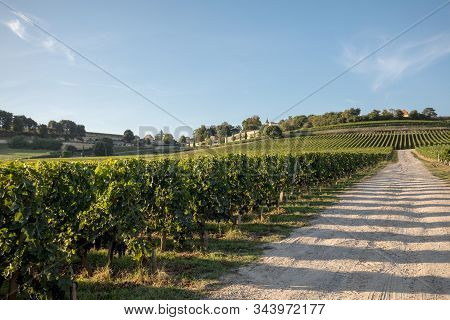 Ripe Red Merlot Grapes On Rows Of Vines In A Vienyard Before The Wine Harvest In Saint Emilion Regio