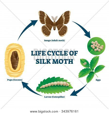 Silk Moth Life Cycle Illustrated Vector Diagram. Educational Biology Science Scheme With Evolving Ca